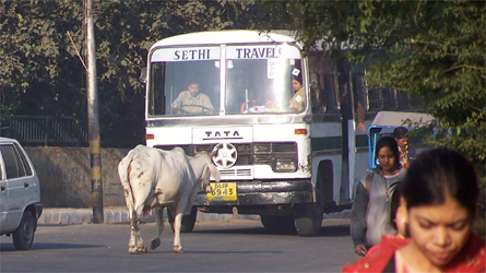 The Streets Of Delhi - Sacred Cows