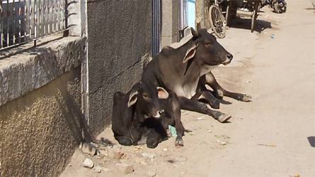 The Streets Of Delhi: Cow's Everywhere