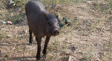 The Streets Of Delhi: Feral Pigs